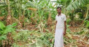 Crop damage caused by wildlife (Photo: Krithi Karanth)