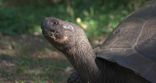 A Galápagos Toroise CREDIT Alexander Forryan